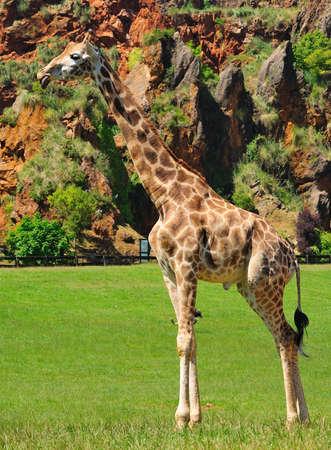 ruminate: Giraffe. Stock Photo