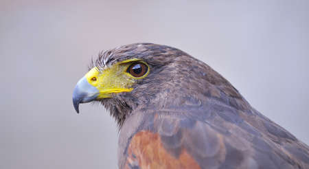 aigle royal: Golden Eagle.