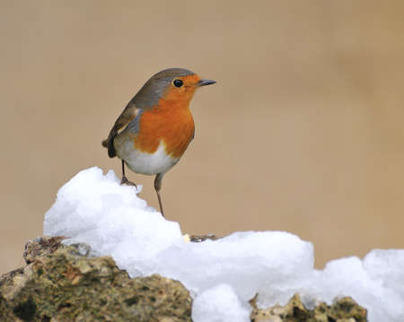 erithacus: Robin in the snow.