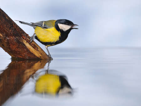 calved: great tit.