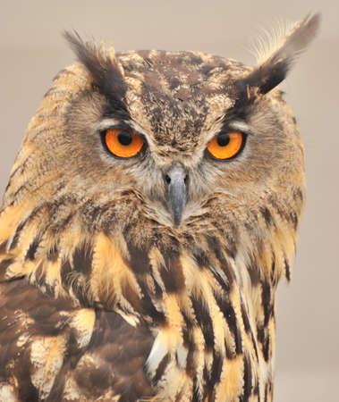 Eagle owl. photo