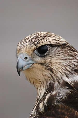 falcon: Hawk gerifalte. Stock Photo
