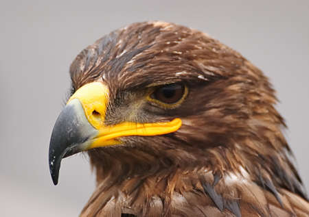 aquila reale: Golden Eagle.