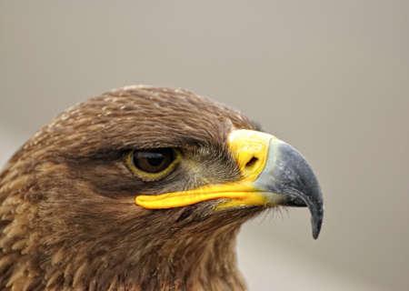 golden eagle: Steinadler.