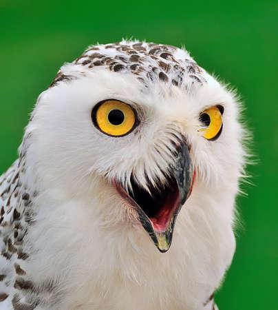snowy owl: The snowy owl. Stock Photo