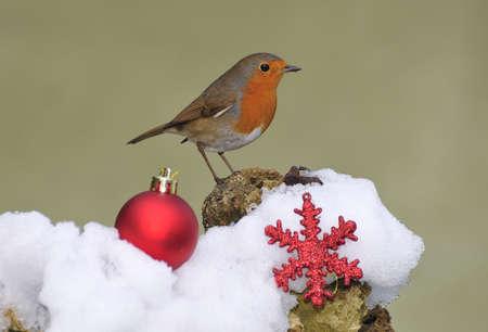 robins:  Christmas. Stock Photo