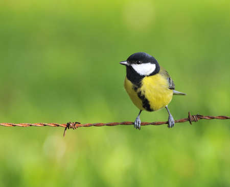 farrowed: Great tit on a fence of thorny. Stock Photo