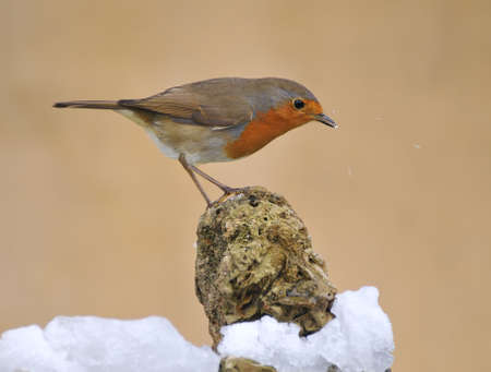 robins: Robin playing in the snow. Stock Photo