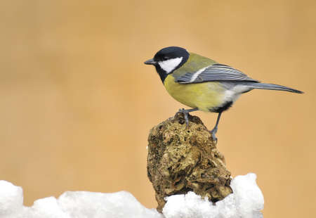 calved: great tit in the snow.