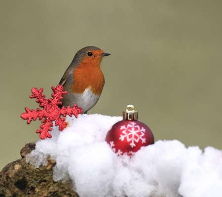 christmas robin: Robin and christmas card. Stock Photo