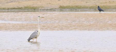 grey heron: Grey heron.