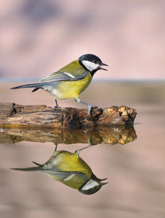 water birds: Great tit.