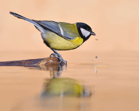 Great tit drinking water. Stock Photo - 10917804