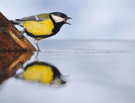 calved: great tit with a swim in the water.