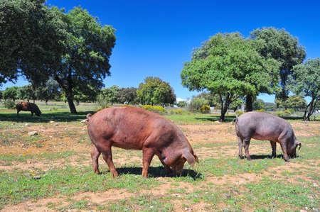 Iberian pig. photo
