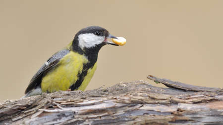 calved: Great tit eating peanuts.