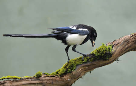magpie eating in a trunk.
