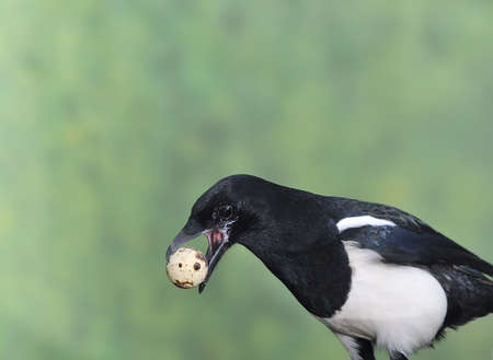 Magpie stealing eggs.