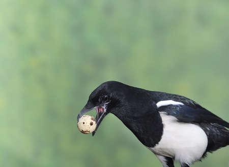 urraca: Urraca robar huevos.