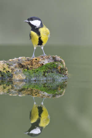 farrowed: Bird reflected in the water. Stock Photo