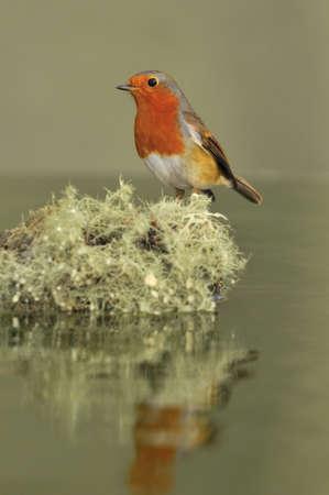 robins: robin  with lichen.