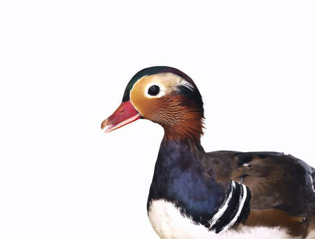 Mandarin duck. photo