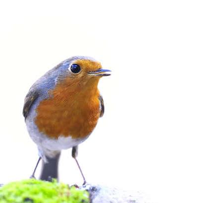 robins: robin on white background.