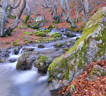 beech forest in autumn photo