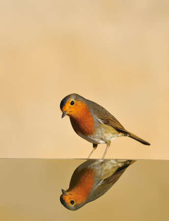 robins: Robin reflected in the water.