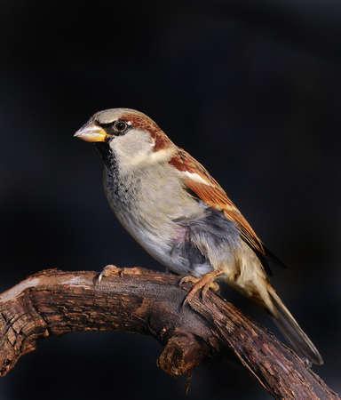 passer by: Sparrow, Passer Domesticus.