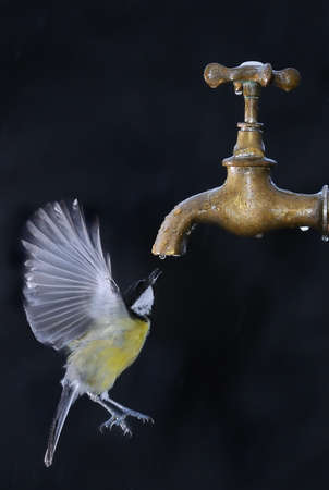 Bird in flight drinking from a tap. photo