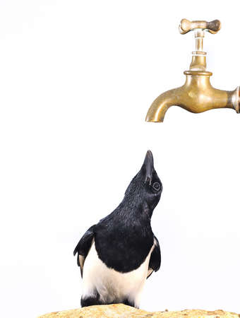 Magpie looking a faucet. Stock Photo - 11614516