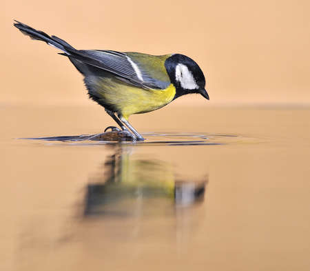 calved: Great tit in the water. Stock Photo