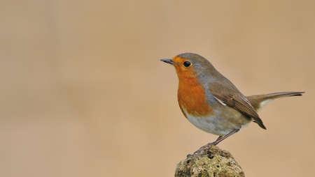 european people: Robin in the garden. Stock Photo