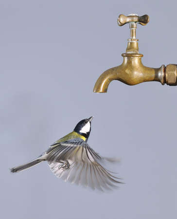 Flying bird to drink from a tap.