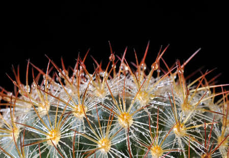 Cactus with drops of dew. photo