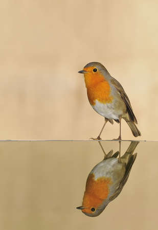Robin reflected in water. Stock Photo