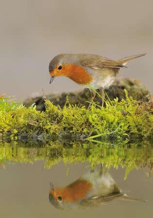 thirst: Robin.