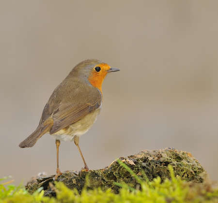 Robin. Stock Photo - 12004380