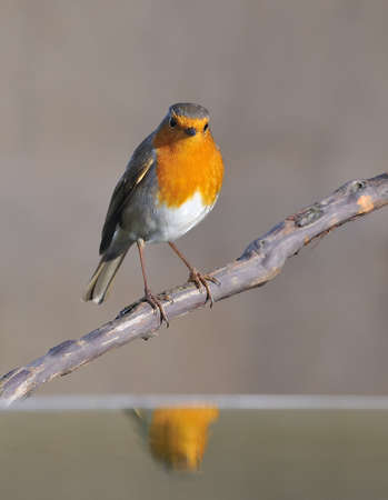 Robin reflected in the water.