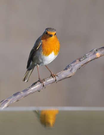 boom met vogels: Robin weerspiegeld in het water. Stockfoto