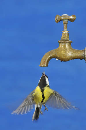 blue tit: Bird drinking from a tap with blue background.