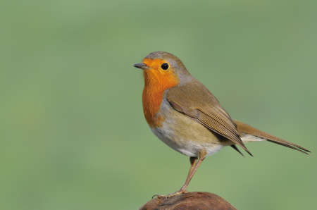 Robin with green background. photo