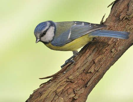 Blue tit,cyanistes caeruleus. photo