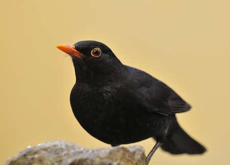 Blackbird. photo