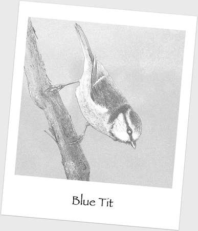 Drawing of blue tit, cyanistes caeruleus. photo