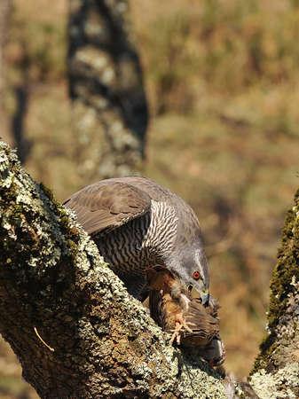 Goshawk hunting a partridge. Stock Photo - 12881233