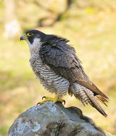 Peregrine Falcon. Stock Photo - 12881239