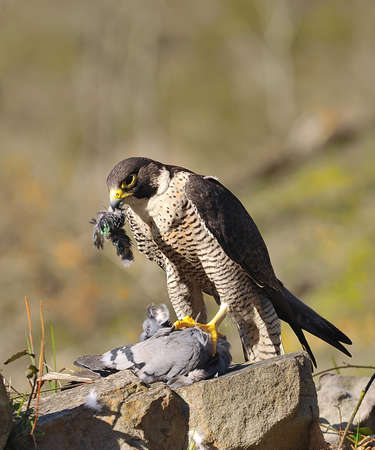 Peregrine Falcon hunting a pigeon.