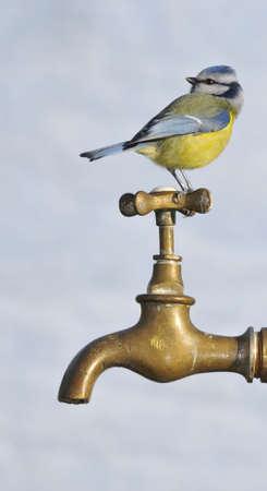 cyanistes: Blue tit, Cyanistes Caeruleus. Stock Photo